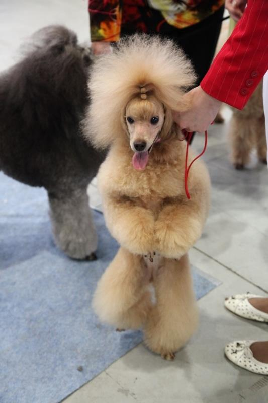 The 20th Anniversary National Poodle Dog Show in Sokolniki