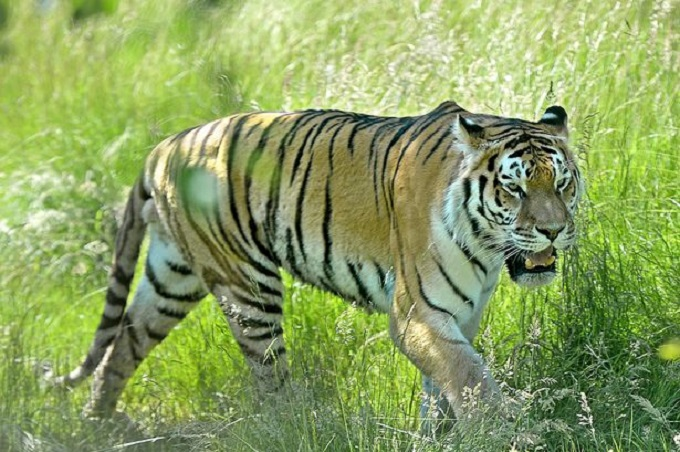 Tiger Nadia amazingly tests positive for coronavirus at the Bronx Zoo