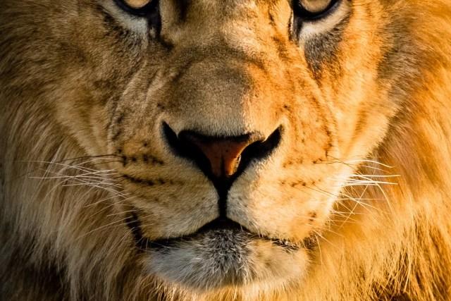 Dieu est comme un lion