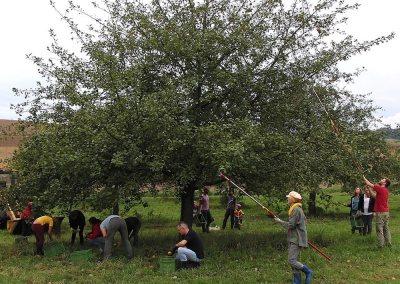 Apfelernte, Apfelbaum