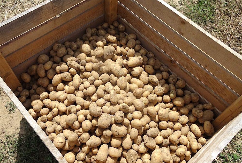 Grüne Kartoffeln und Solanin