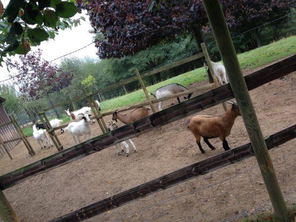 Chèvres Refuge de l'Arche