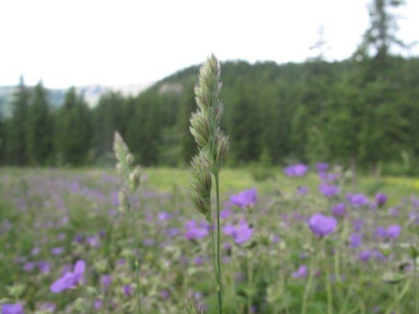 Flore massif des écrins
