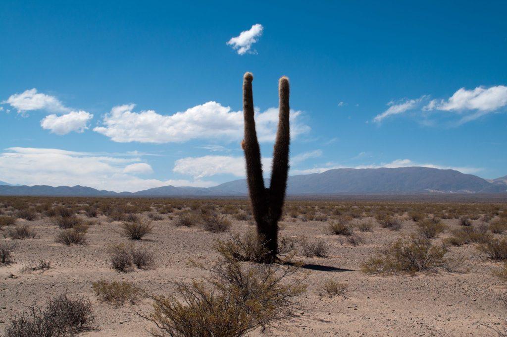 Cactus Argentine