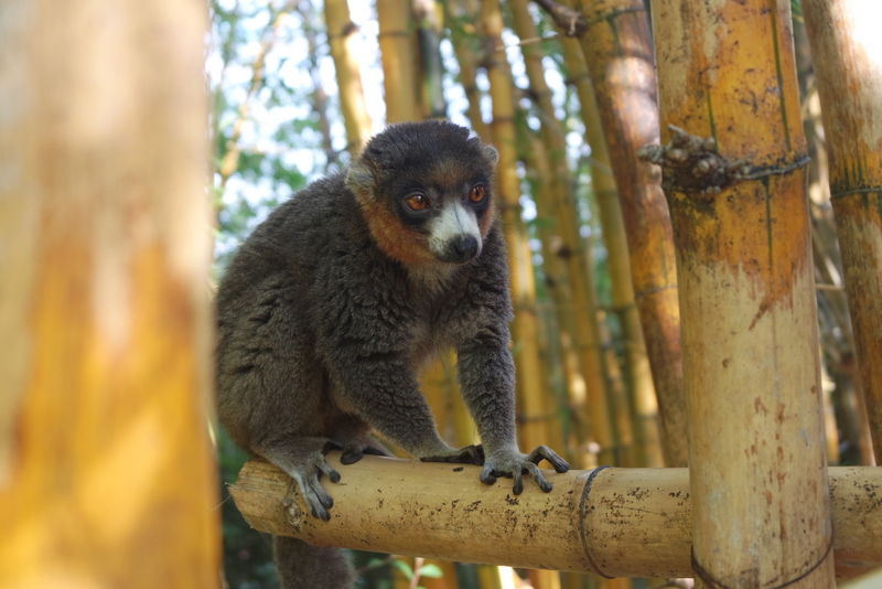 Lémurien Madagascar
