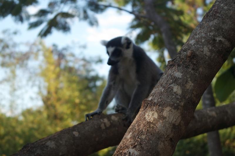Lemur's Park Tana Madagascar