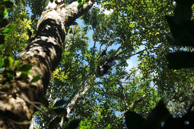Réserve AnalamazaotraIndri Indri