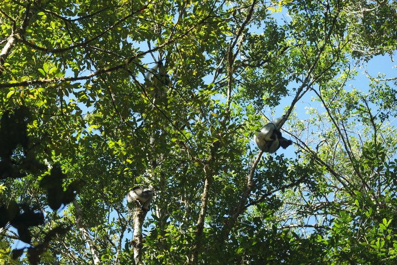 Réserve Analamazaotralémurien Indri Indri