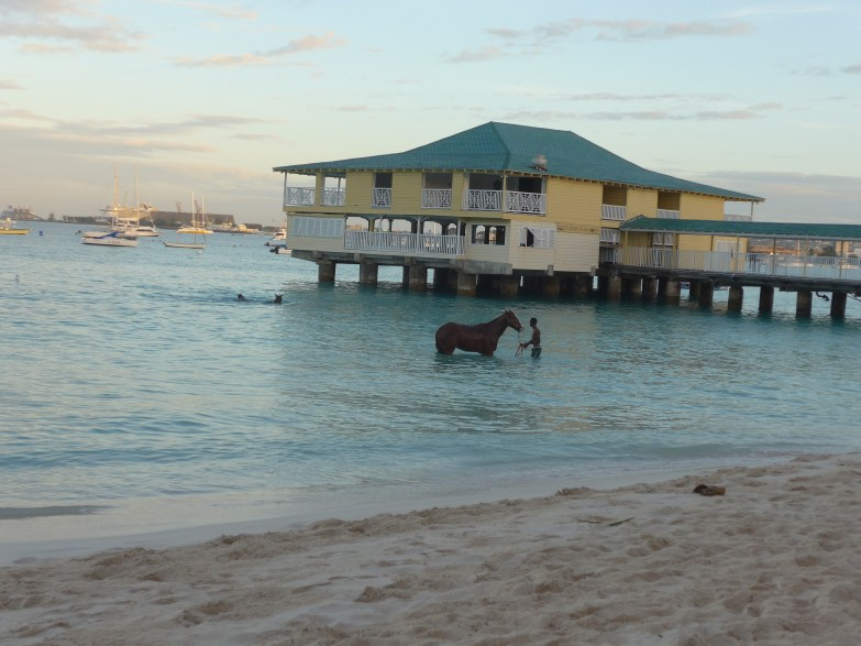 Horses Swimming at Pebbles Beach