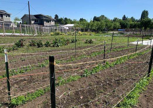Incipient Giving Garden crops