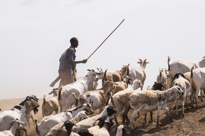 kenya troupeaux