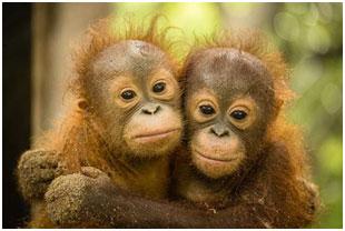 orangutan-2015