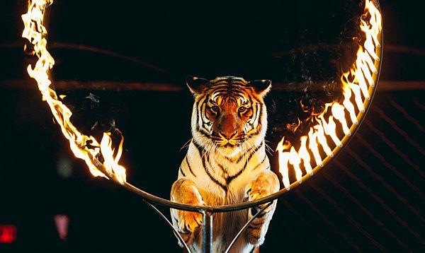 cat-firehoop
