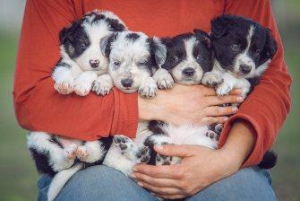 Cachorros de Border Collie en venta