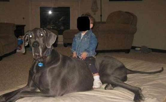 Morto il cane pi grande del mondo lutto per Giant George  Foto