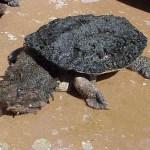 los animales mas raros tortuga matamata