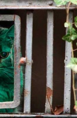 gato color turquesa
