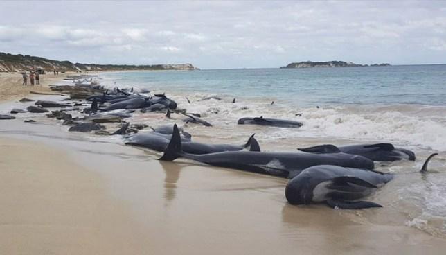 Más de 150 ballenas quedaron varadas en una playa de Australia