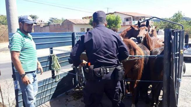 Capturan en La Unión a hombre que transportaba caballos para un rastro clandestino