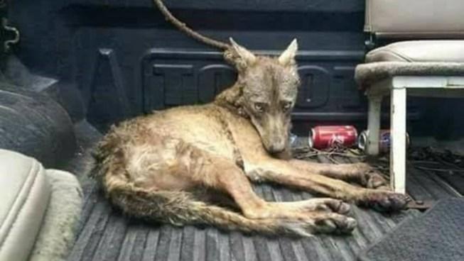 Policía rescata a un coyote que se encontraba lesionado en Morazán