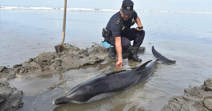 Hallan varado a delfín en playa de Intipucá, La Unión