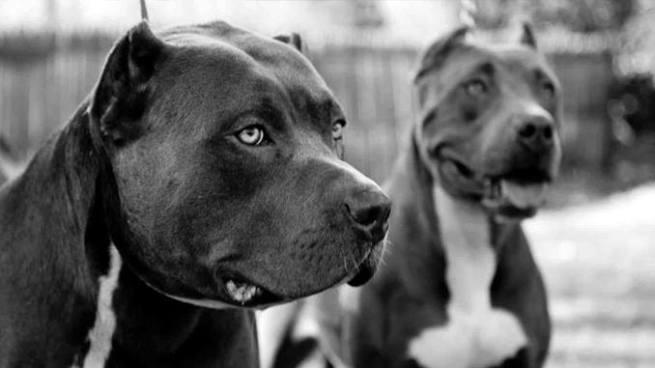 Niño de 7 años muere tras ser atacado por dos pitbull en Estados Unidos