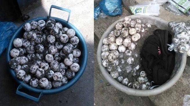 PNC arresta a dos personas con más de 500 huevos de tortuga marina en San Salvador