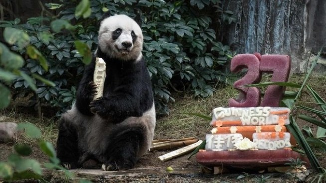 Muere el panda más viejo del mundo en China