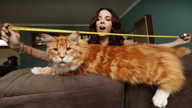 Gato australiano podría coronarse como el más largo del mundo