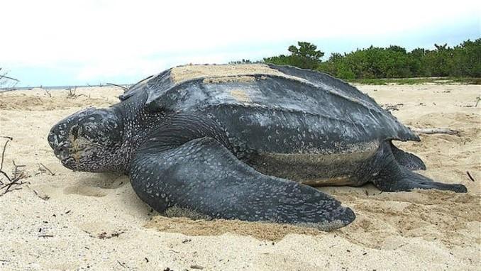 Impactante: Encontraron a una tortuga de más de 700 kilos