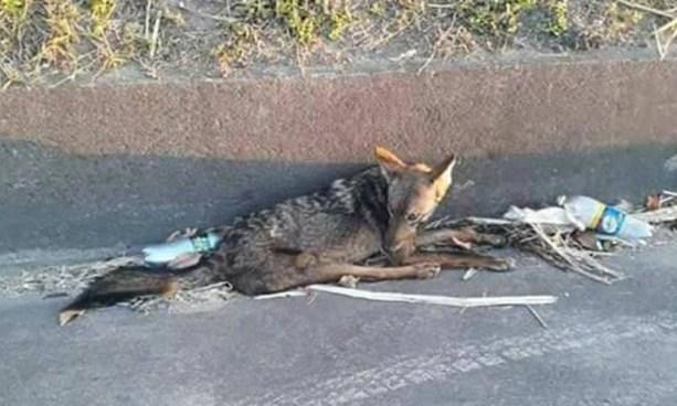 Rescatan a coyote que tenía varios días de estar herido en carretera a Quezaltepeque