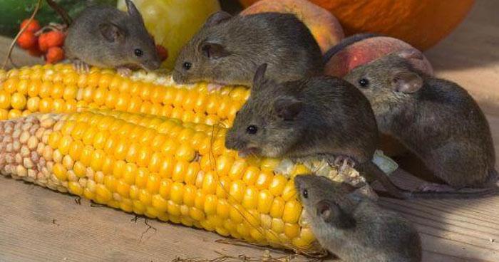 Advierten sobre comercialización ilegal de Galletas con Plaguicidas en mercados del país