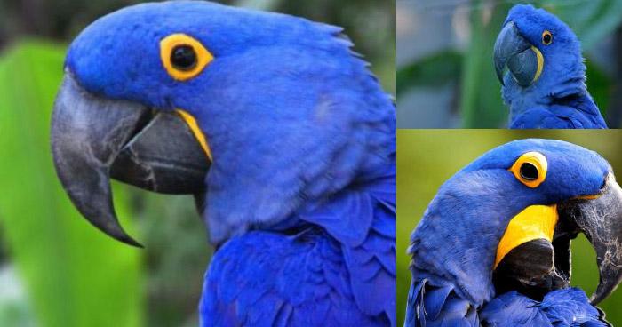 Nace un Guacamayo Azul que inspiro la película RIO, ave exótica que se había declarado extinta