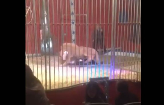 León ataca a su domador en pleno Show en Francia