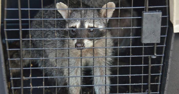 Rescatan a 6 mapaches que habían ingresado a una propiedad privada