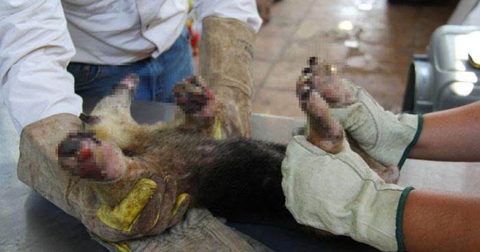 Oso hormiguero sufrió quemaduras graves durante incendio en maleza en La Paz