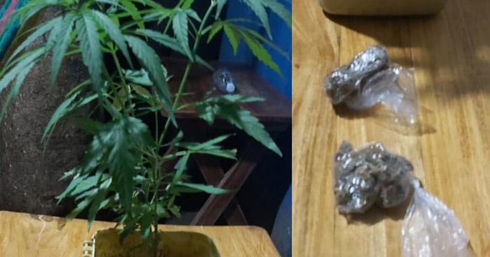 Tres detenidos y dos plantas de marihuana incautadas en Sonsonate