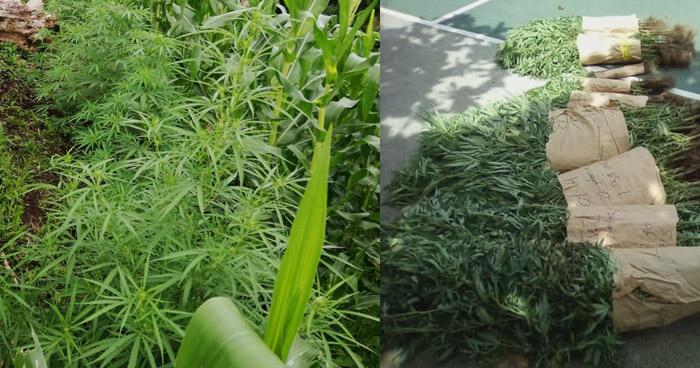 Incautan 140 plantas de Marihuana en Santa Elena, Usulután