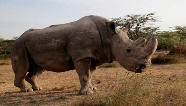 Muere el último ejemplar macho de rinoceronte blanco en Kenia