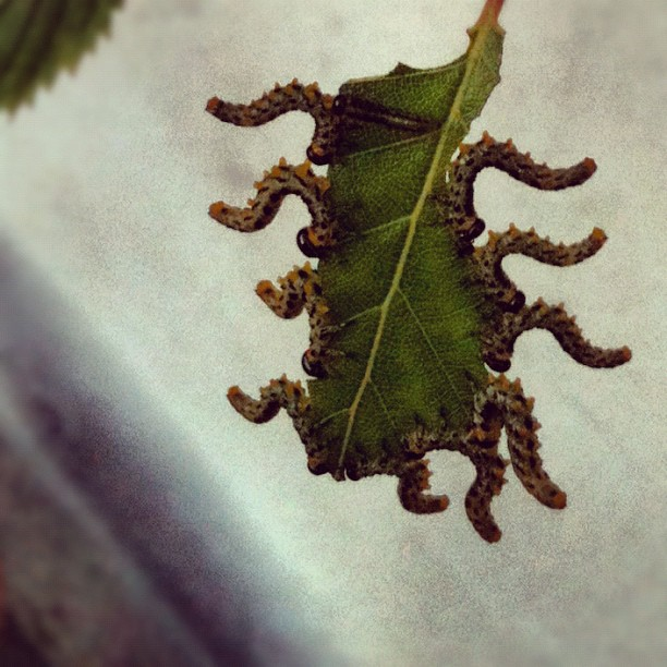 Sawfly Instagram photo Copyright Solopress 2012