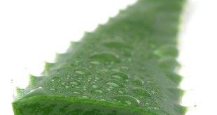 10 beneficios de la planta de Aloe Vera