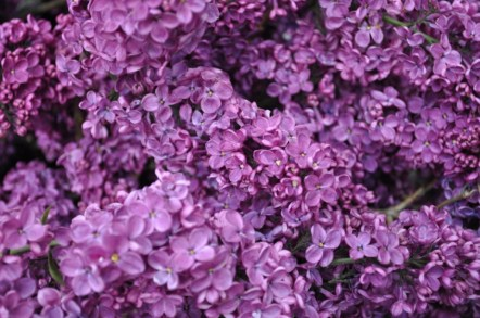 Lilacs from Portland, Ore.