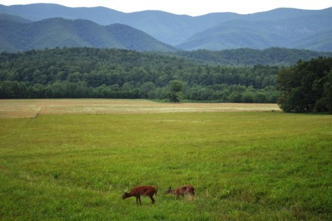Oh, Deer! Cades Cove Loop Road, Great Smoky Mountains National Park