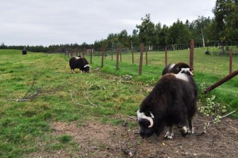 Musk Ox Graze on the Farm in Palmer, Alaska