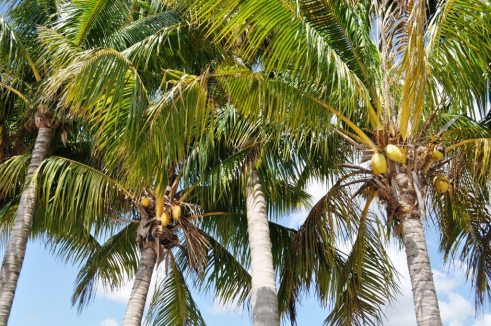 Palm Trees in Florida City, Florida, May 2011