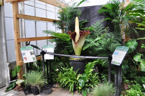 Corpse Flower in Bloom, June 10, 2012, Marie Selby Botanical Gardens, Sarasota, Fla.