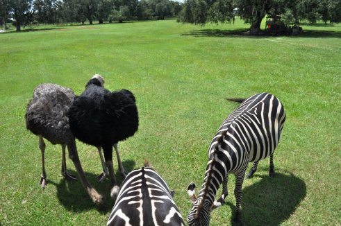 Emu, Ostrich and Zebras - Oh, My!