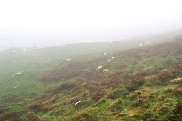Sheep Grazing in the Fog Along Dingle Bay, County Kerry, Ireland