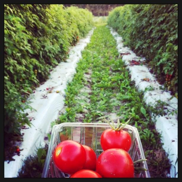 I Love Visiting Worden Farm in Punta Gorda, Fla., Each Week to Pick Out and Pick My Organic Veggies