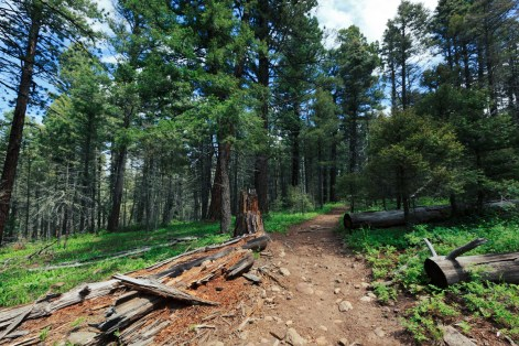 Ponderosa Pines on the Hamilton Mesa Trailhead